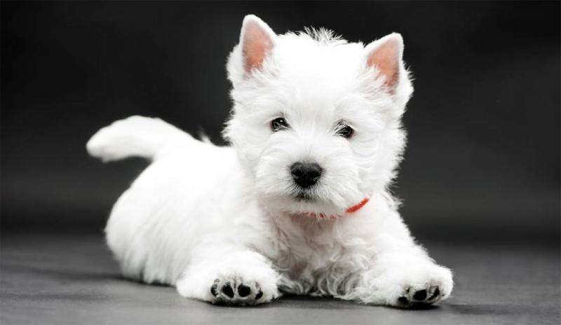 Фото собаки породы Вест-хайленд-уайт-терьер