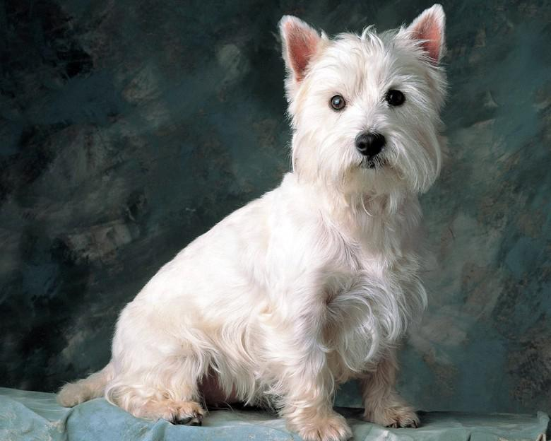 Фотография собаки породы Вест-хайленд-уайт-терьер