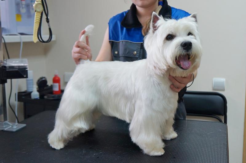 Груминг собаки породы Вест-хайленд-уайт-терьер