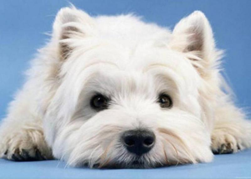 Морда собаки породы Вест-хайленд-уайт-терьер