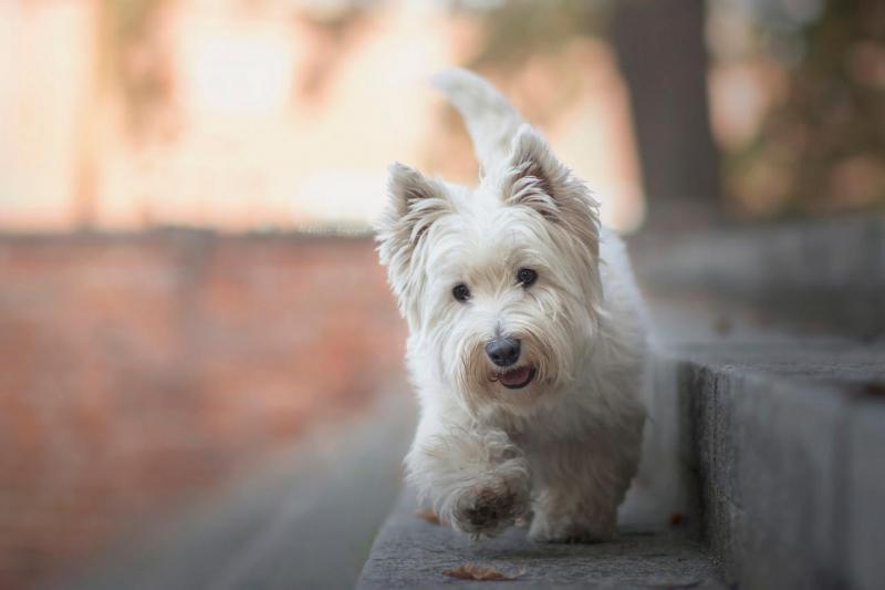 Вест-хайленд-уайт-терьер фото внешнего вида собаки