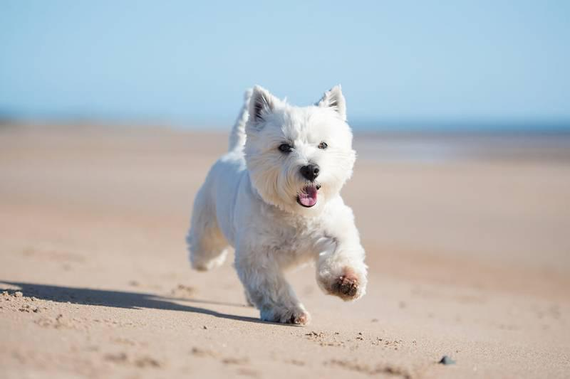 Вест-хайленд-уайт-терьер бежит по песку
