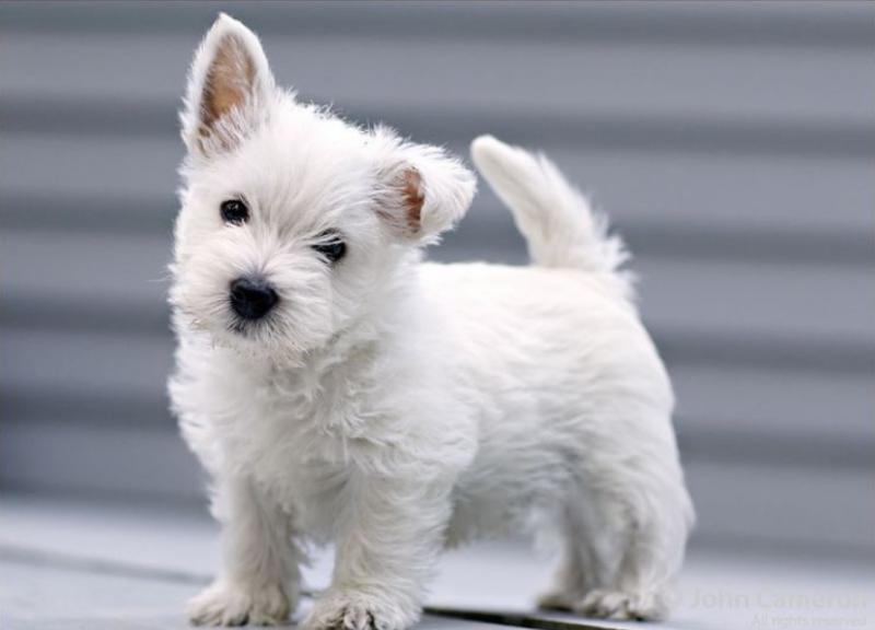 Фото щенка породы Вест-хайленд-уайт-терьер