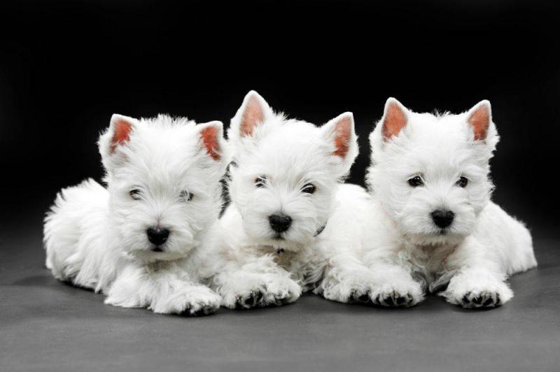 Фотография трех щенков породы Вест-хайленд-уайт-терьер